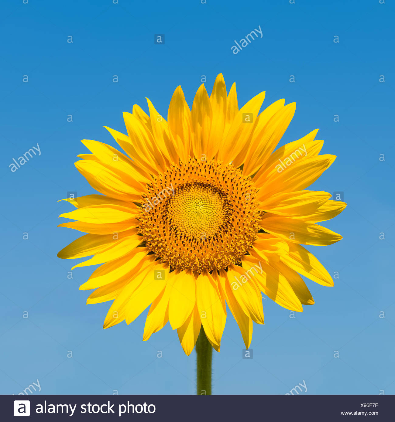 sunflower isolated with clipping path - Stock Image