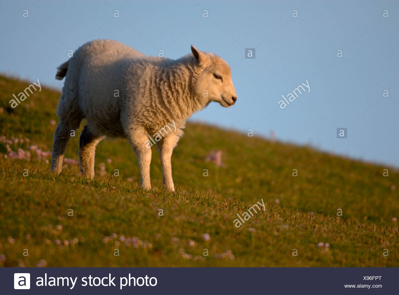 Young sheep in the evening light, looking to the left, Fair Isle, United Kingdom, Europe - Stock Image