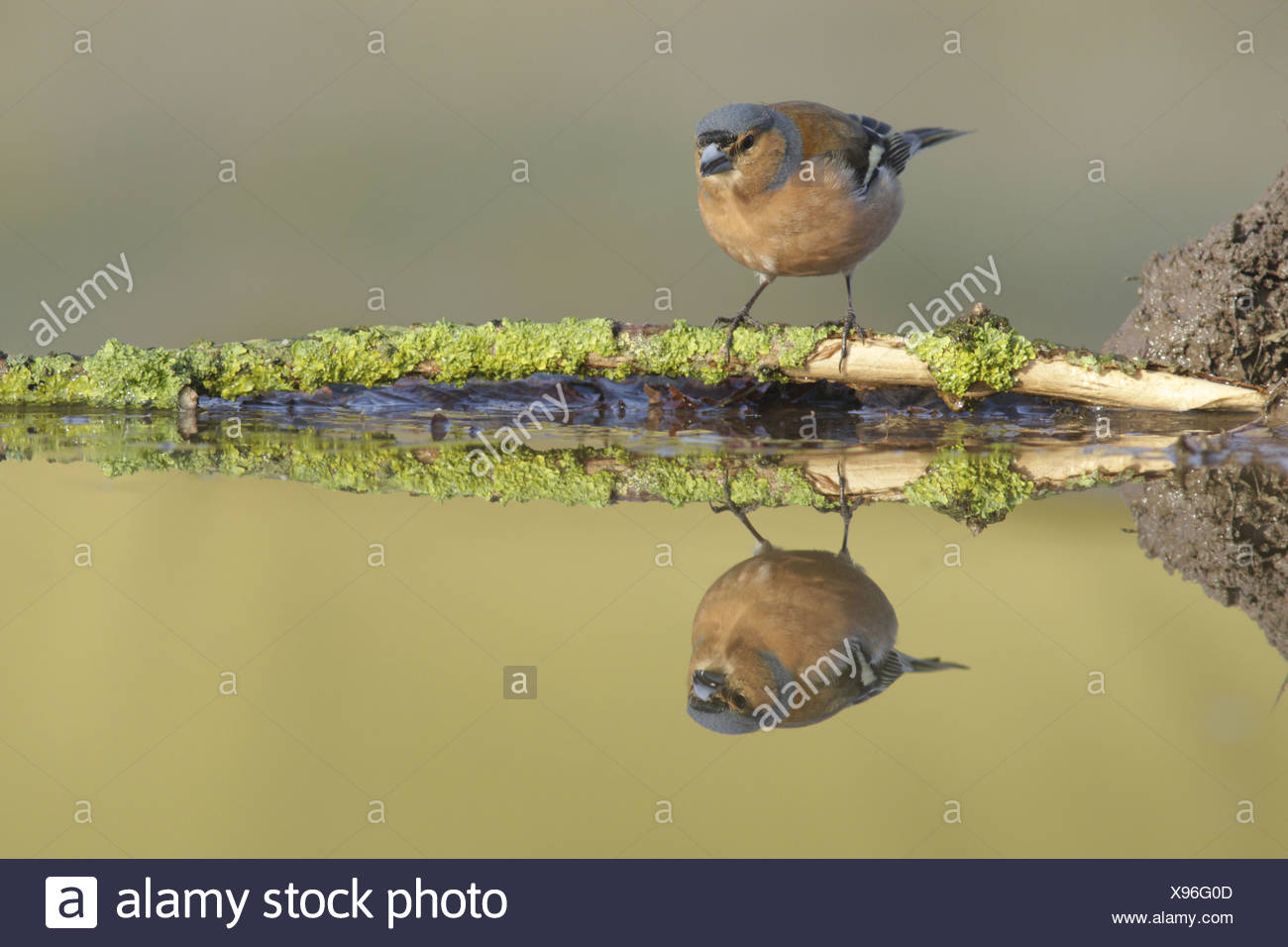 Chaffinch (Fringilla coelebs) adult male perched on lichen covered twig at edge of pool with reflection West Yorkshire England - Stock Image