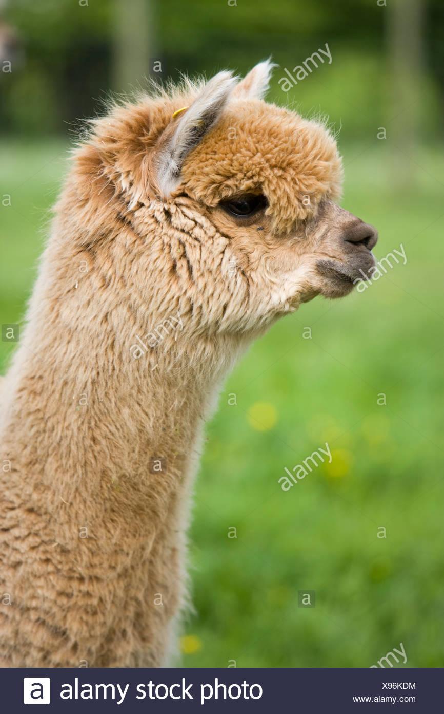 fawn coloured alpaca - Stock Image