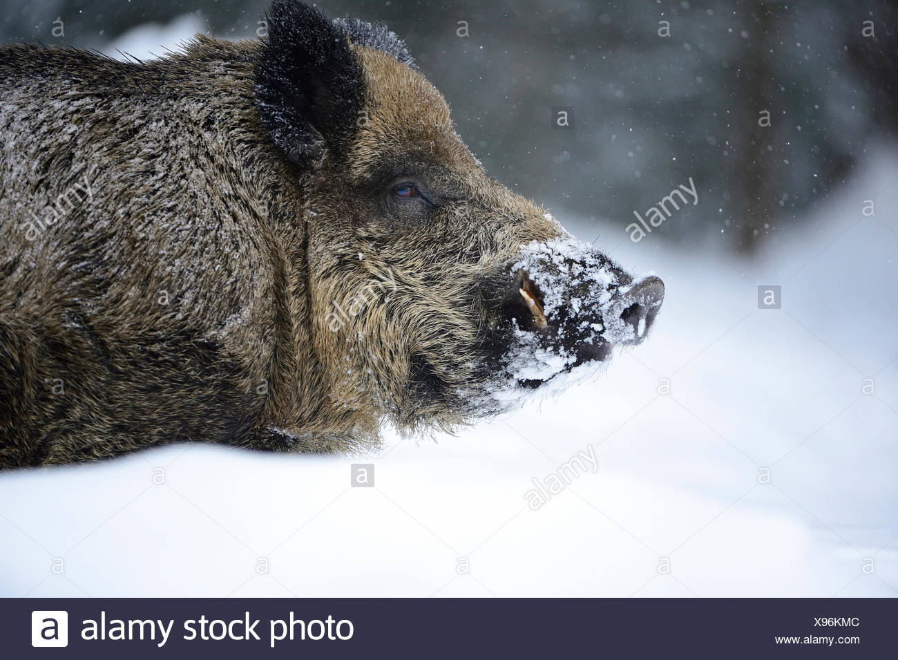 Wild boar, animal, Sus scrofa scrofa, sow, wild boars, black game, cloven-hoofed animal, pigs, pig, vertebrates, mammals, real p - Stock Image