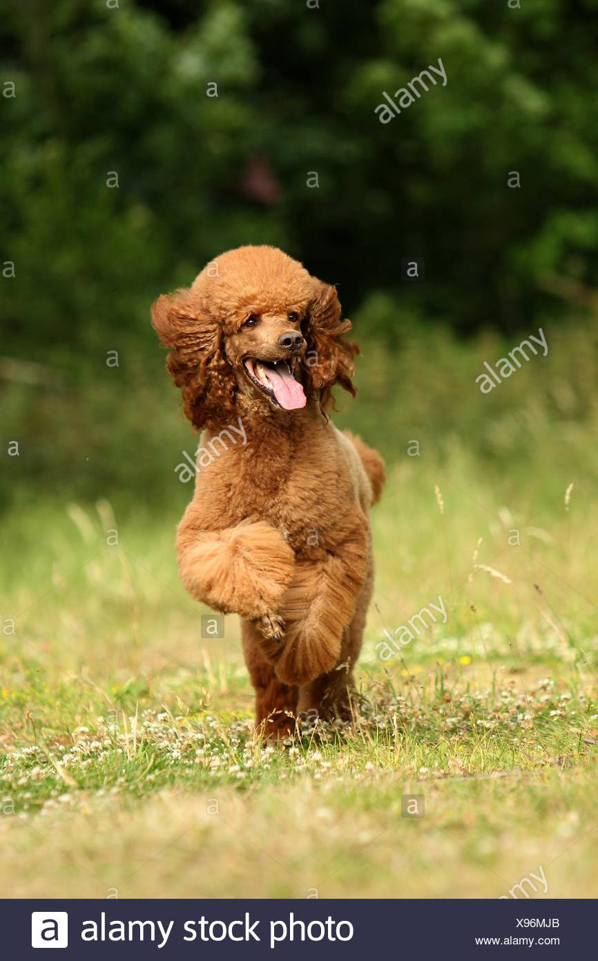 running Giant Poodle - Stock Image