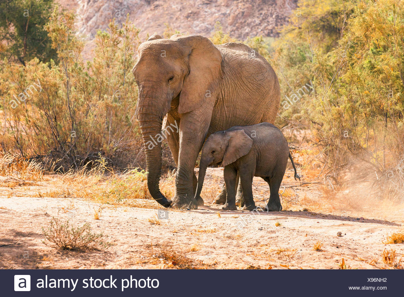Desert elephant, Desert-dwelling elephant, African elephant (Loxodonta africana africana), Desert cow elephant with elephant calf at the dried up riverbed of the Huab River, Namibia, Damaraland - Stock Image