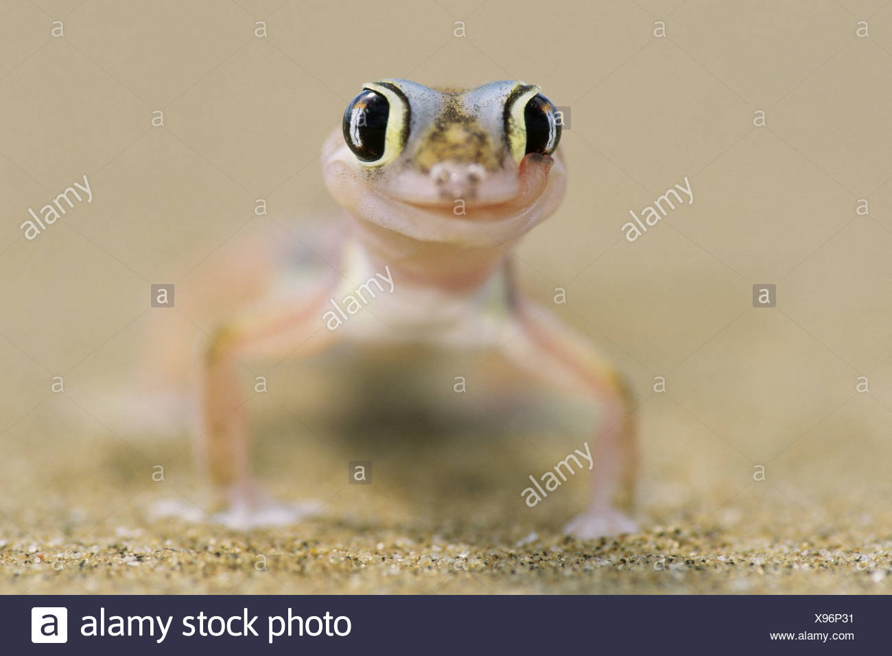 Pachydactylus rangei Palmatogecko rangei portrait blur animal-portrait Africa Namibia Swakopmund  nature Wildlife animal wild - Stock Image