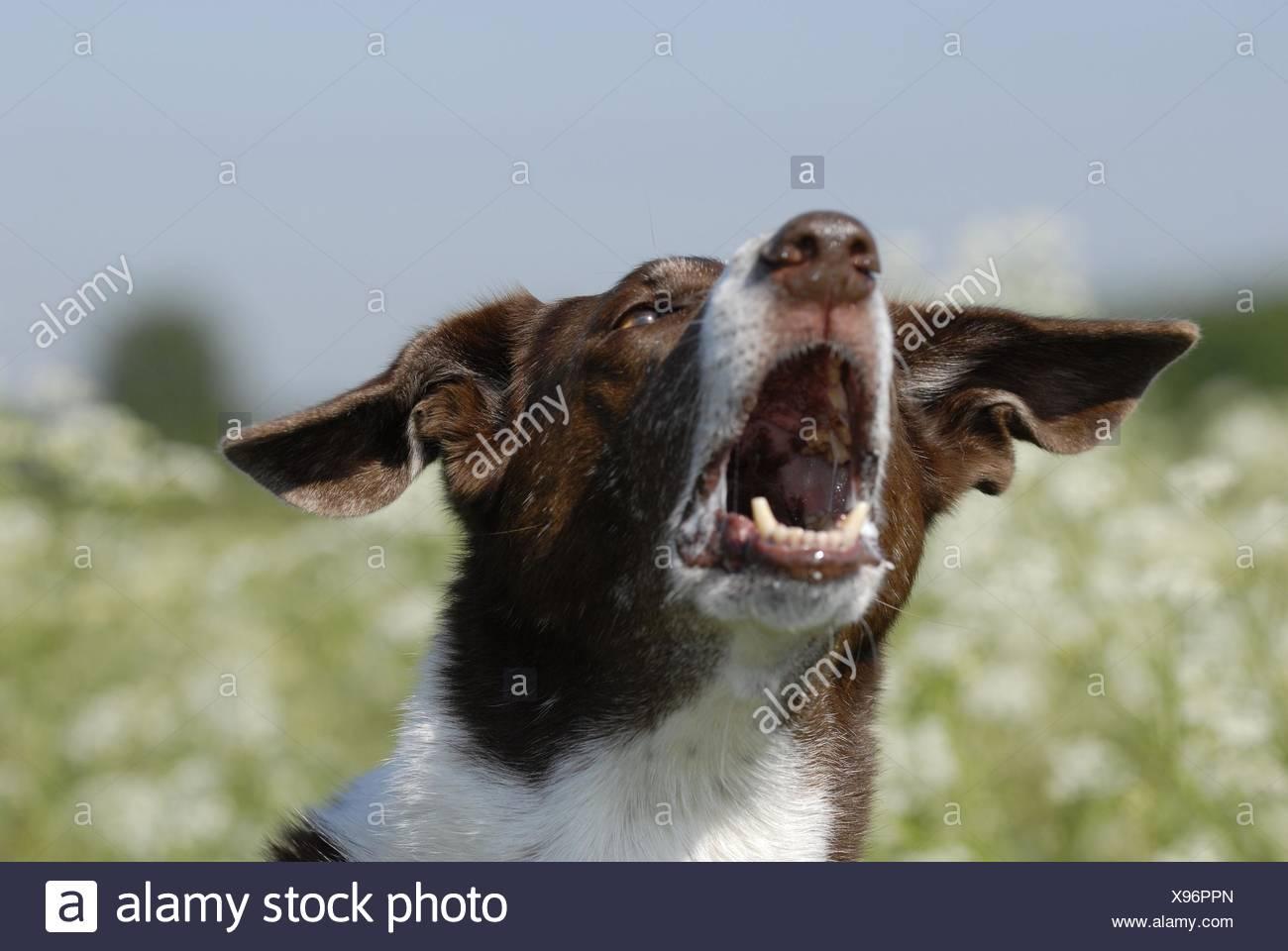 barking dog - Stock Image