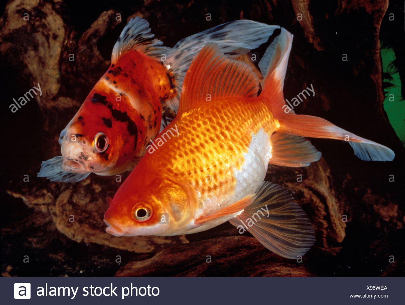 Two Ornamental Fishes Stock Photos & Two Ornamental Fishes Stock ...
