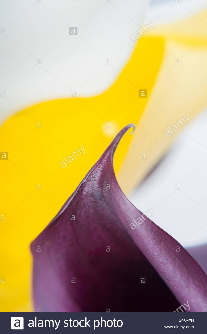 Macro shot of two callas, beautiful lines. Shallow depth of field. Stock Photo