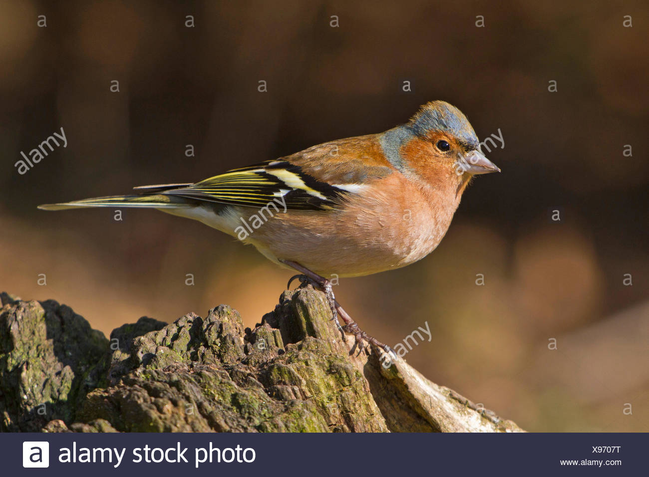 chaffinch (Fringilla coelebs), male sitting on a tree trunk, Germany, Bavaria - Stock Image