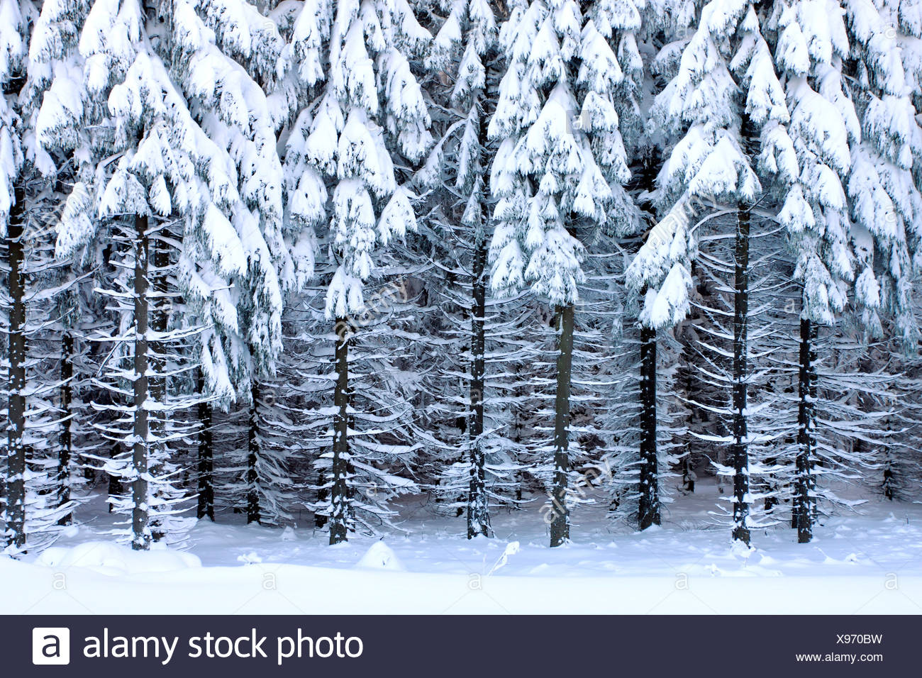 Norway spruce (Picea abies), view into a snow-covered spruce forest, Germany, Saxony, Erz Mountains Stock Photo