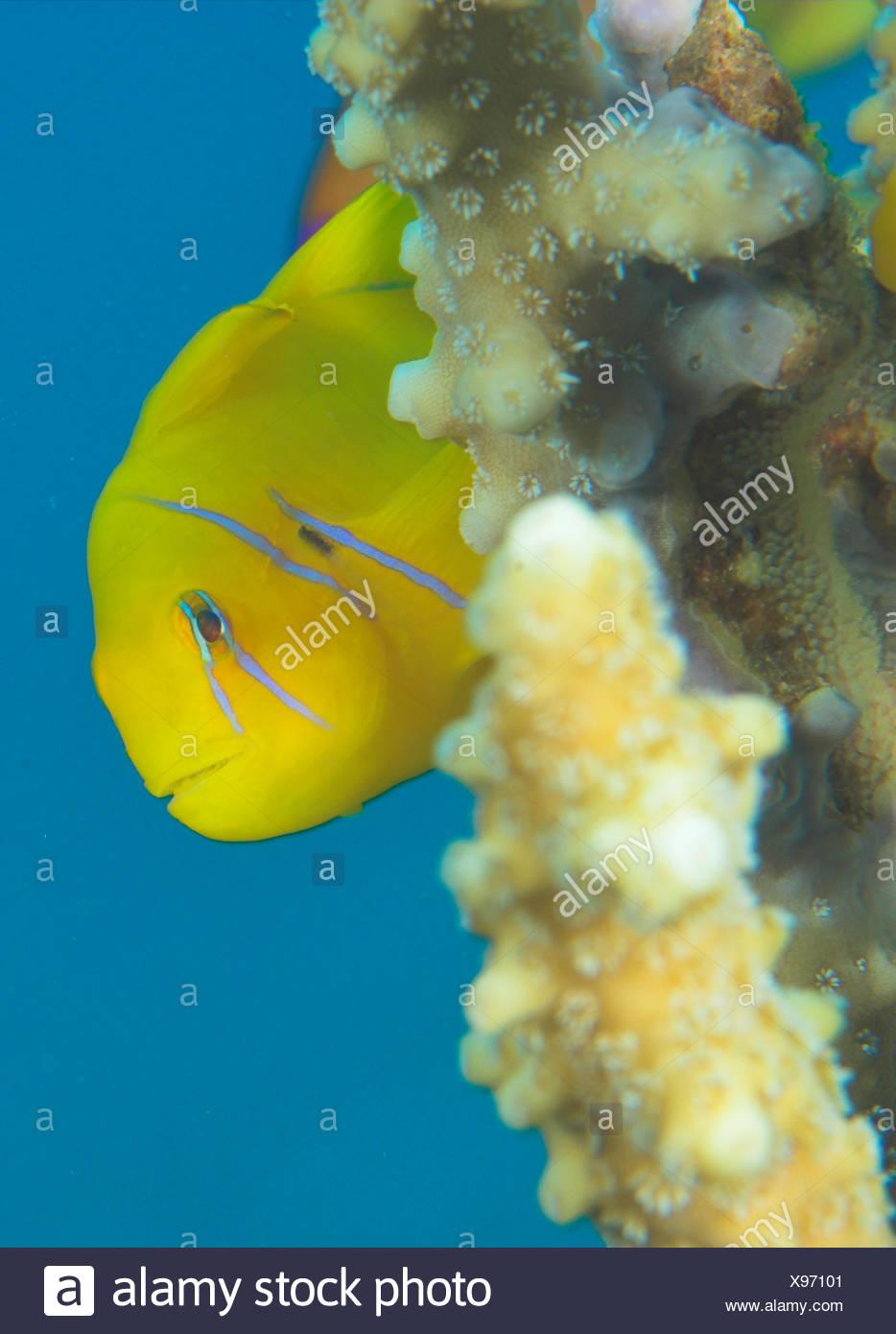 Lemon Goby - Stock Image
