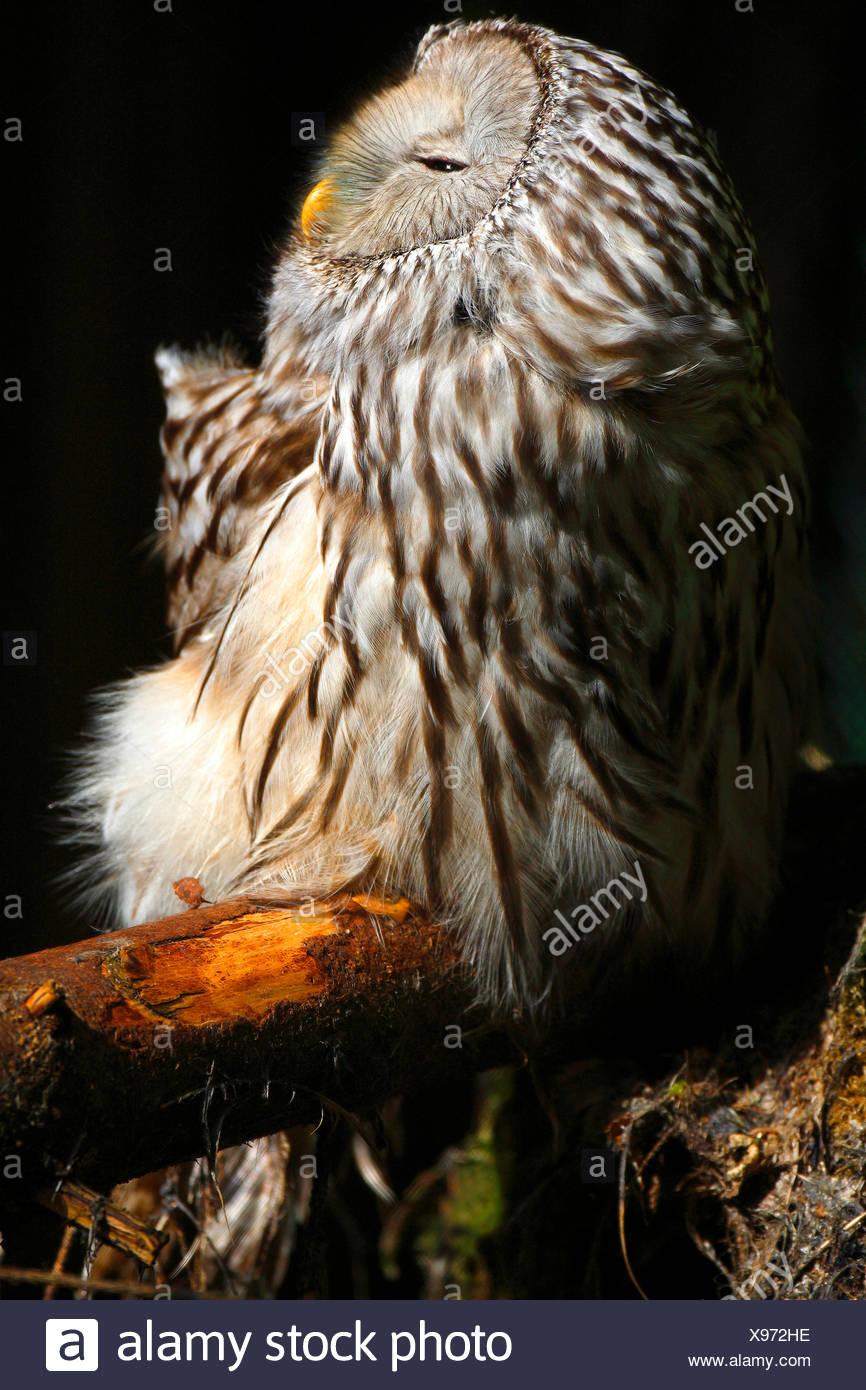 ural owl (Strix uralensis), enjoying a sunbath on a branch, Sweden - Stock Image