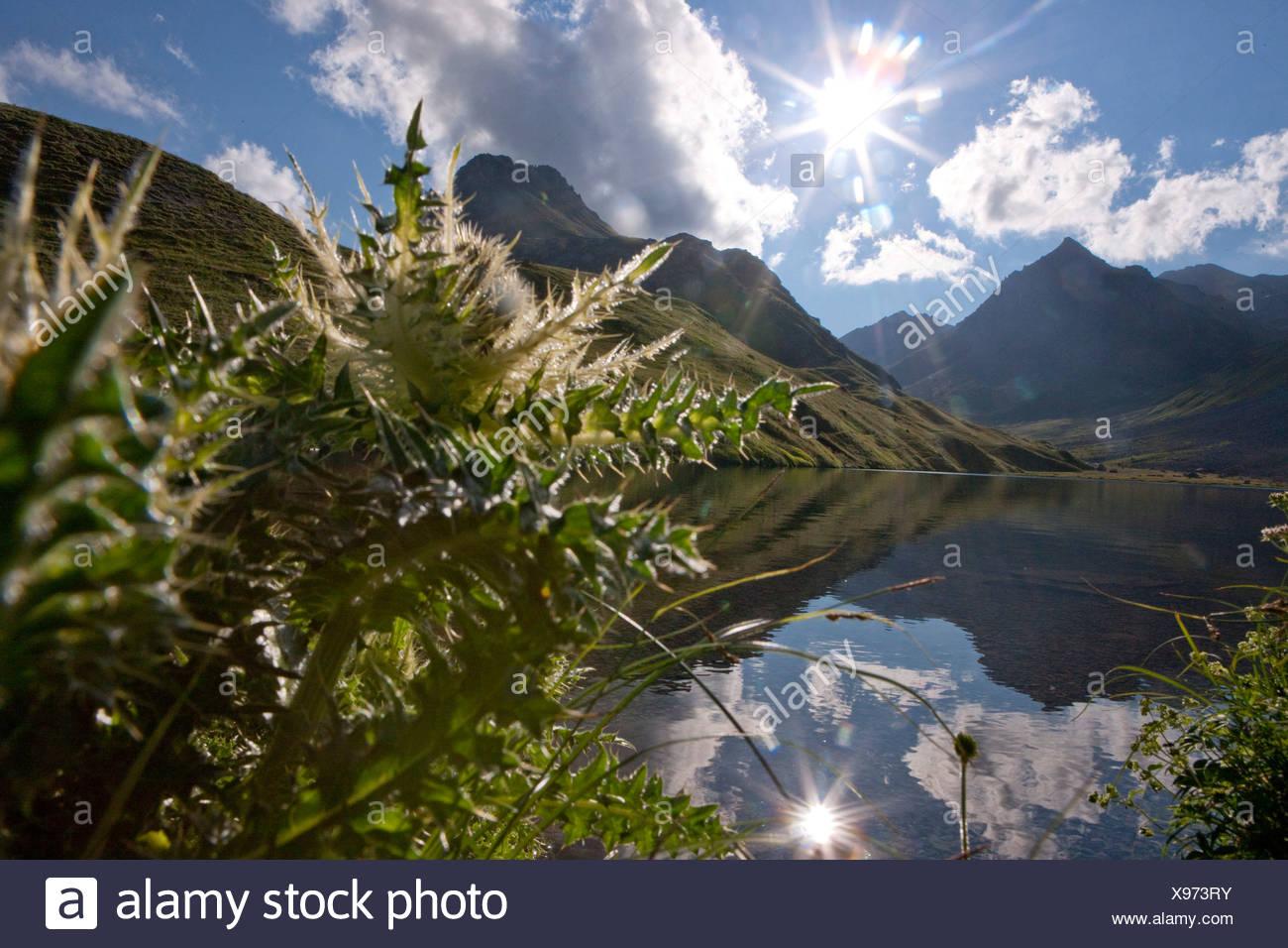 Thistle, Alplisee, Arosa, canton, GR, Graubünden, Grisons, mountain lake, lake, flower, flowers, sun, Switzerland, Europe, Stock Photo