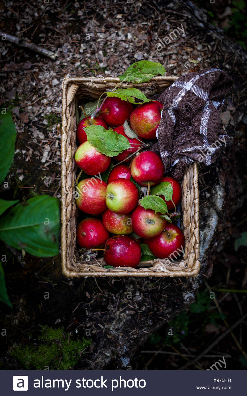 Apples in basket with towel on forest floor. Top view - Stock Image