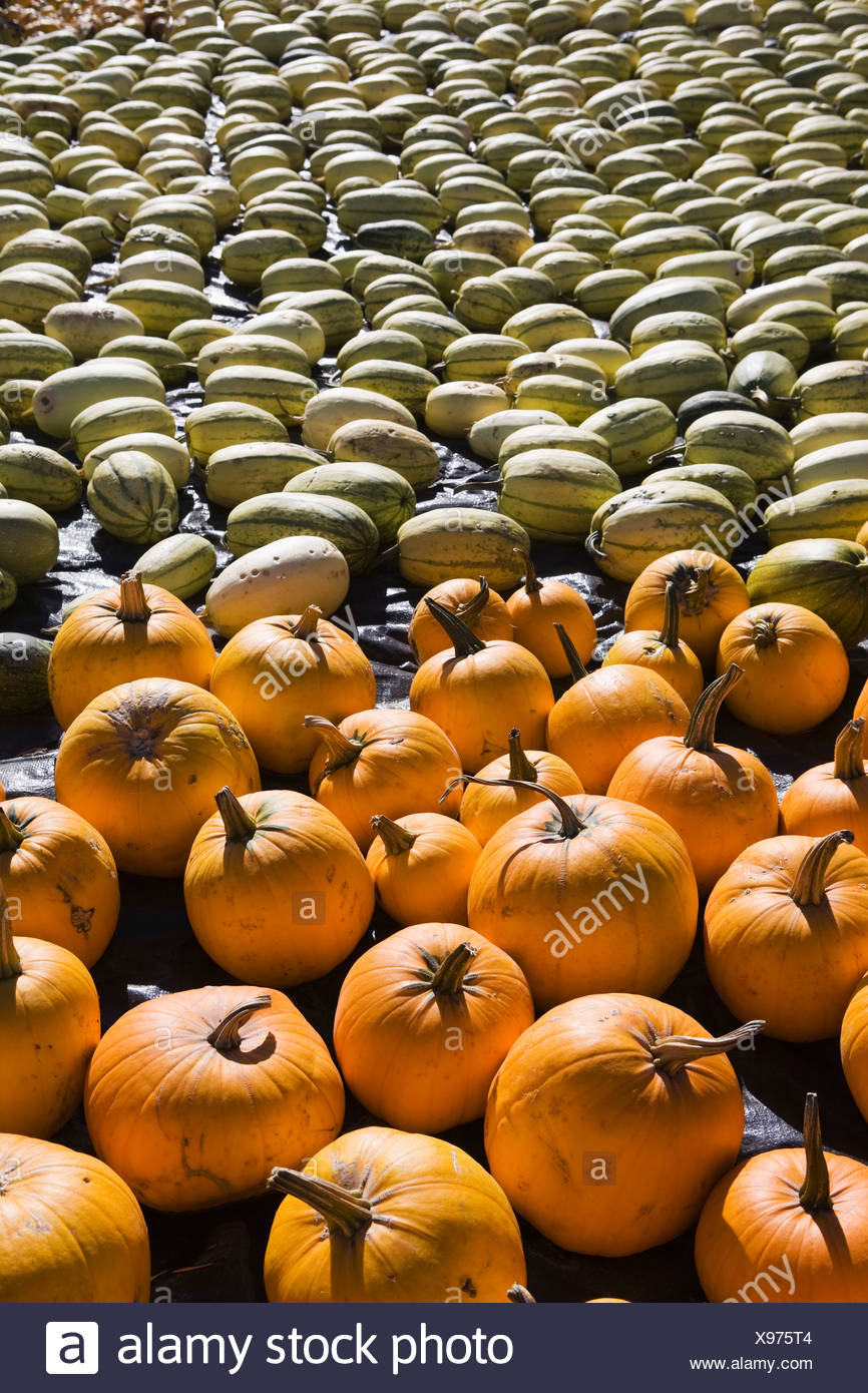 squash and pumpkins laying on the ground; innisfail, alberta, canada - Stock Image