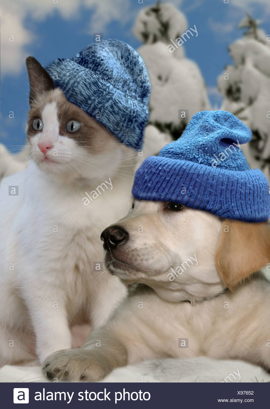 animal friendship: Golden Retriever dog - puppy and kitten with bobble hat in snow Stock Photo