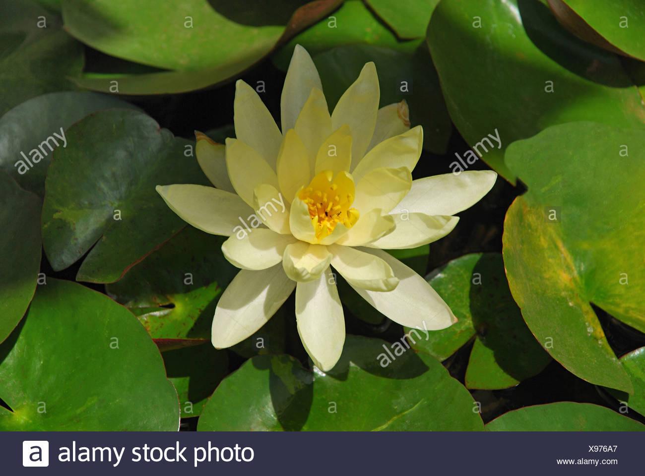Yellow Lotus Or Nelumbo Lutea Lotus Flower Is The National Flower
