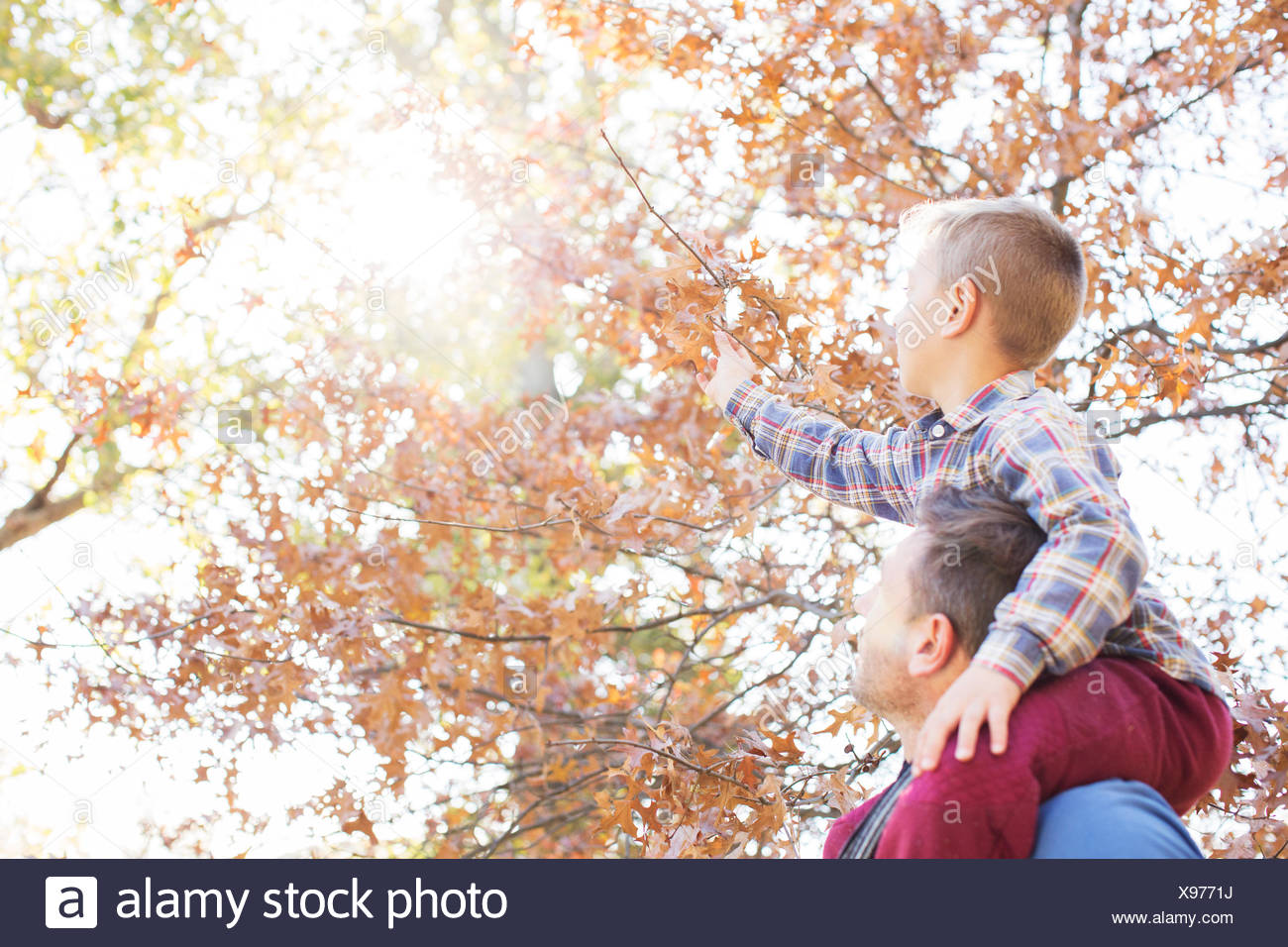 Father carrying son on shoulders reaching for autumn leaves - Stock Image