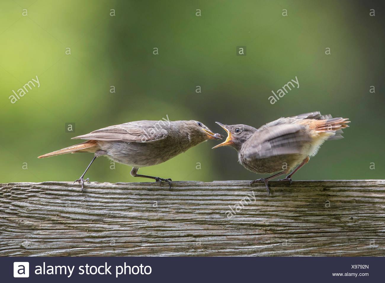 Hausrotschwanz, Haus-Rotschwanz (Phoenicurus ochruros), Weibchen fuettert bettelnden flueggen Jungvogel mit einer Kugelassel, De - Stock Image