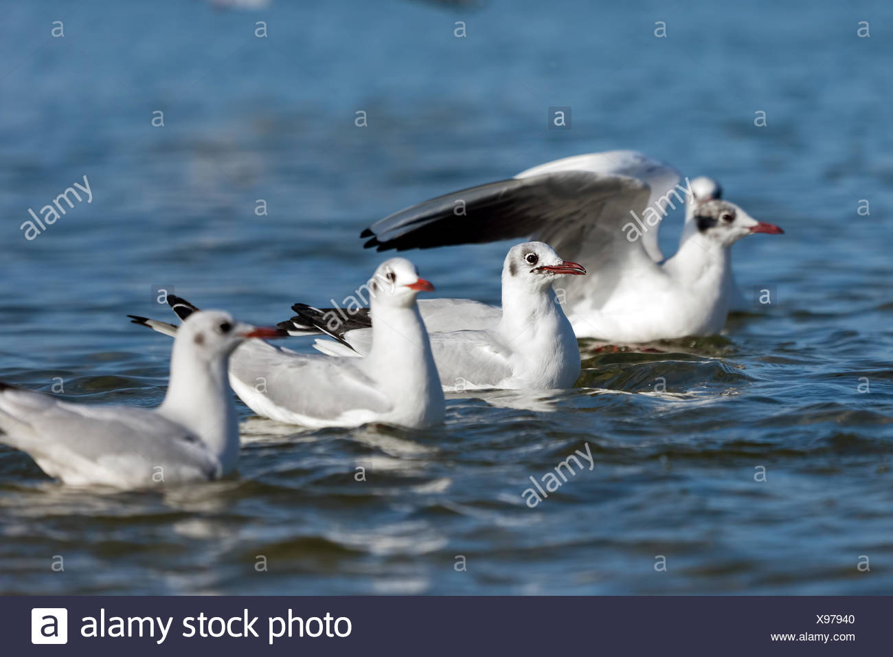 Seagulls floating on the sea in a line. Nature Stock Photo