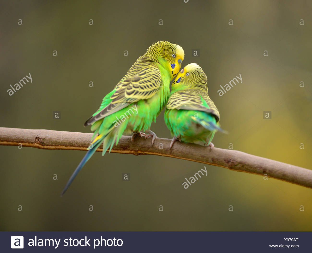 Male And Female Parakeets Stock Photos & Male And Female