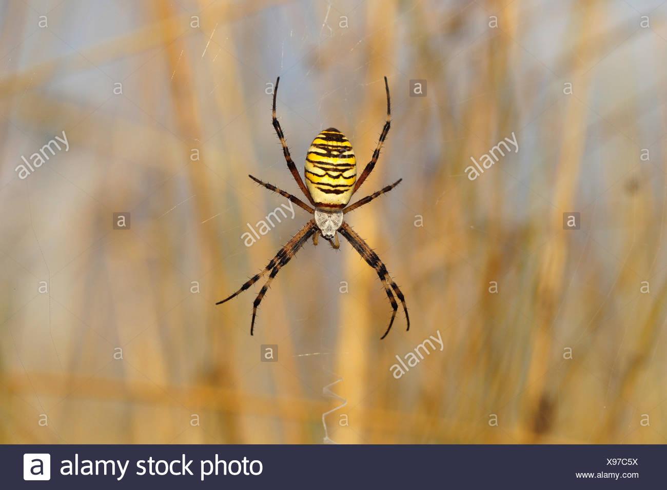 Wasp Spider or Orb-weaving Spider (Argiope bruennichi) on a spider\'s ...