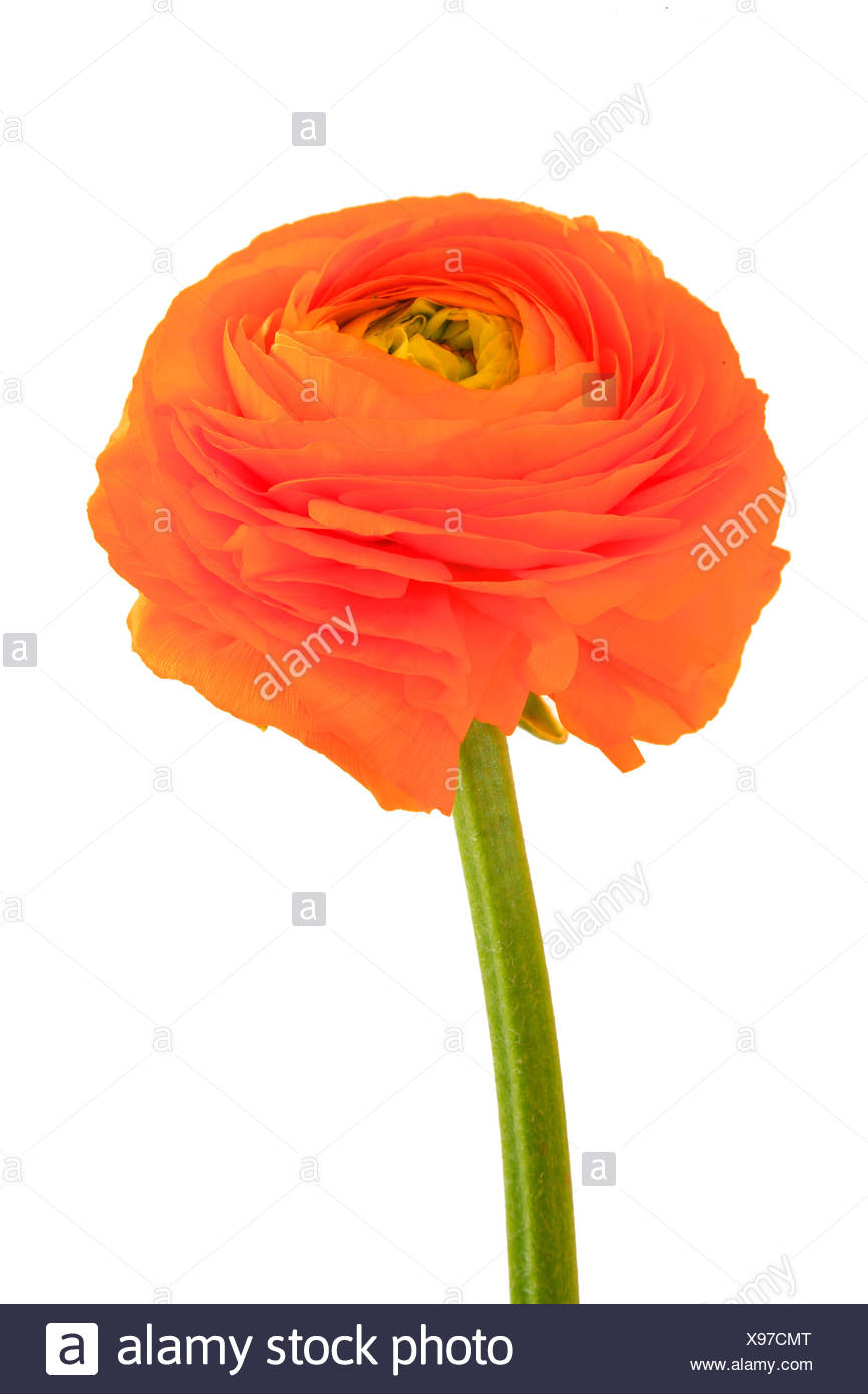Buttercup (Ranunculus), flower Stock Photo