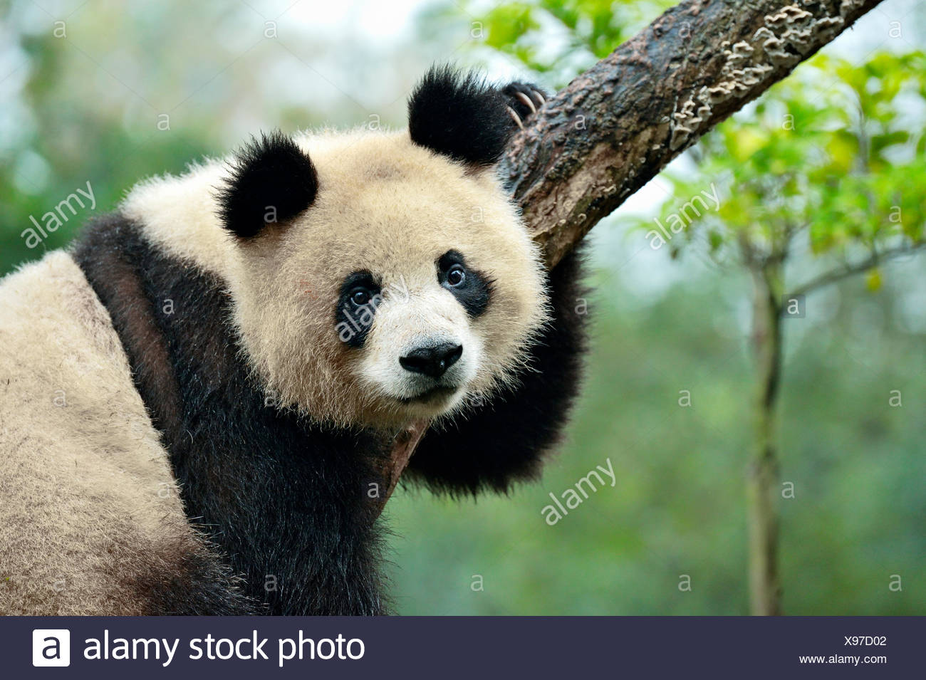 Giant Panda (Ailuropoda melanoleuca) perched on a tree, captive, Chengdu Research Base of Giant Panda Breeding or Chengdu Panda - Stock Image