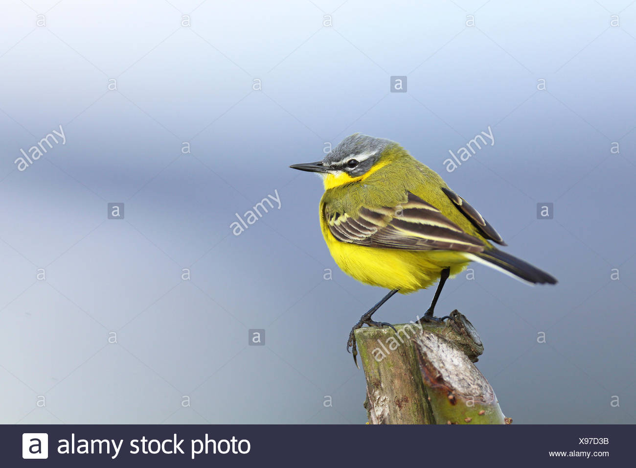 Yellow wagtail (Motacilla flava), male sitting on a fence post, Netherlands, Frisia Stock Photo