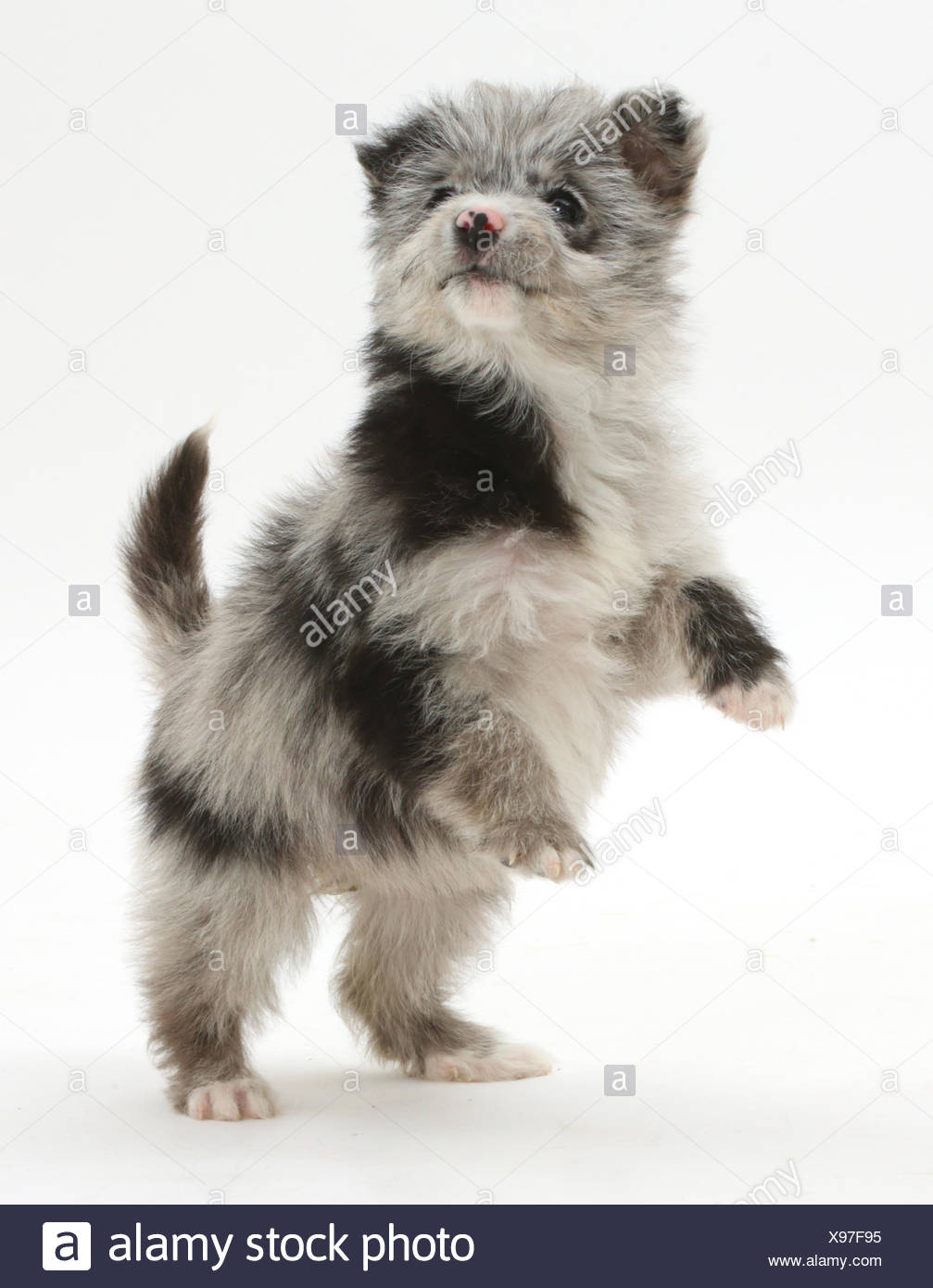 ChiPoo puppy, Chihuahua cross Poodle, Roxy, age 12 weeks, standing on hind legs. - Stock Image