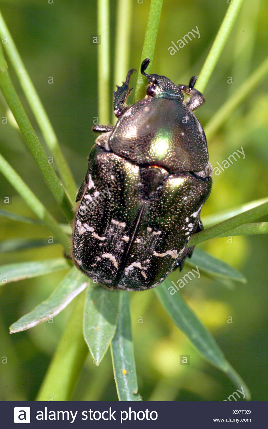 rose chafer (Cetonia aurata), on stem, Germany - Stock Image