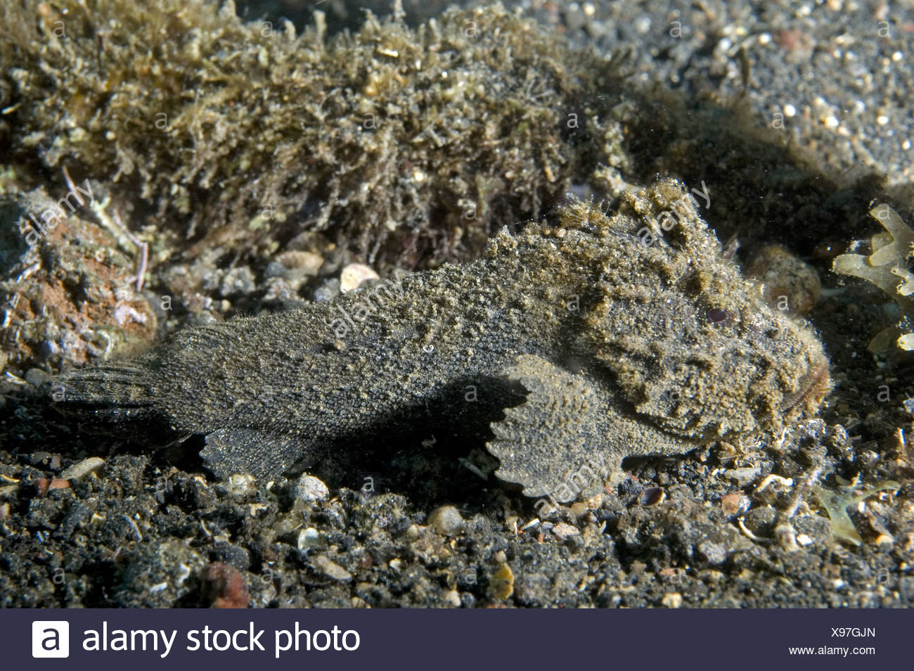 Phantom Velvetfish Paraploactis kagoshimensis Muck Black Sand Lembeh Marine Sea Diving Manado Sulawesi Indonesia animal animals - Stock Image