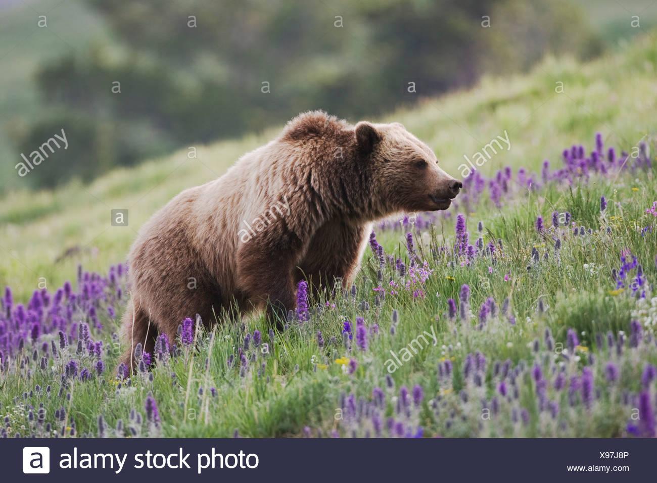 Grizzly Bear Ursus arctos horribilis adult in Purple Fringe Phacelia sericea flowers Yellowstone National Park Wyoming USA - Stock Image