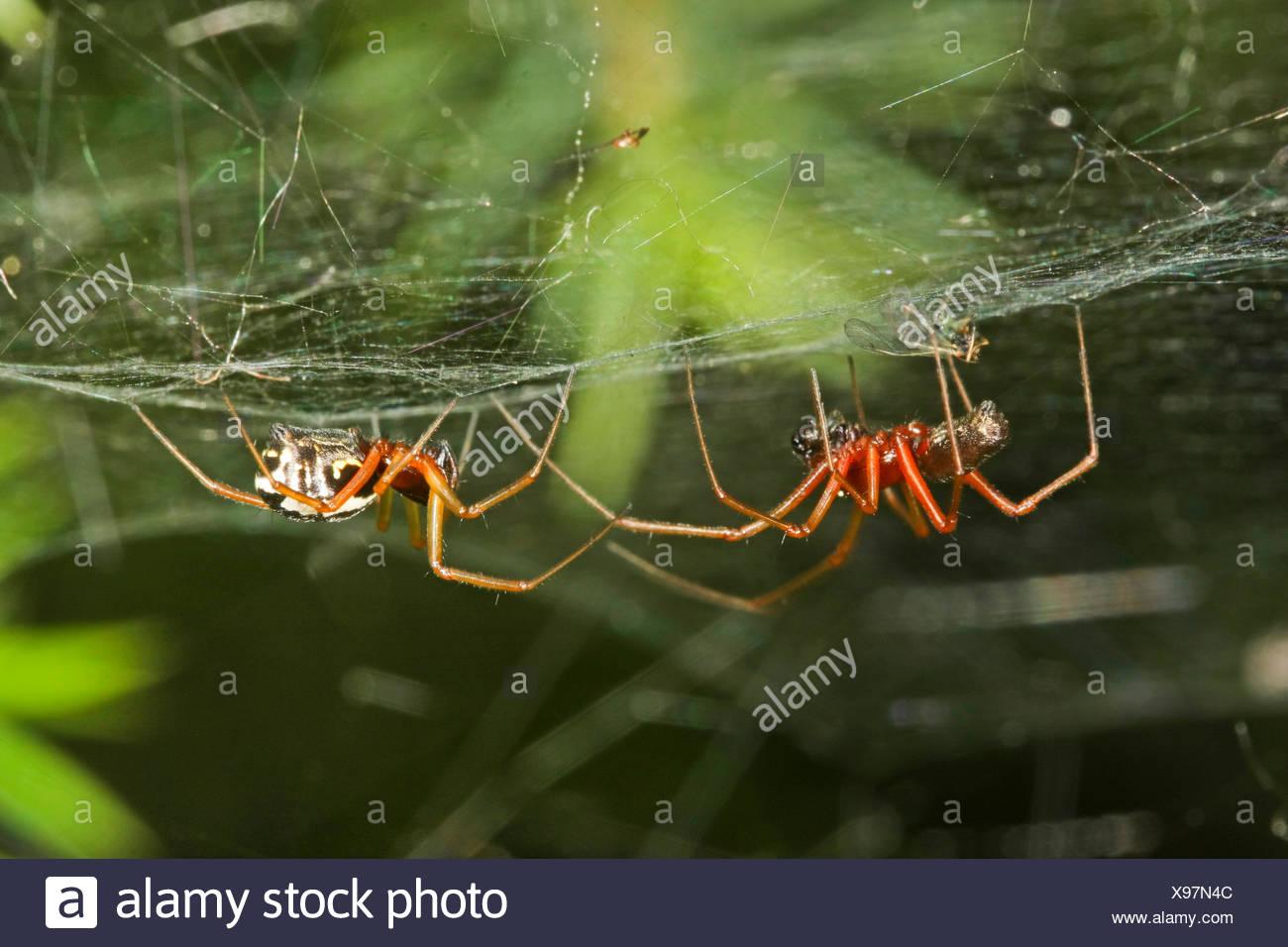 Baldachinspinne, Baldachin-Spinne, Frontinellina frutetorum (Frontinellina frutetorum, Frontinella frutetorum, Linyphia frutetor - Stock Image
