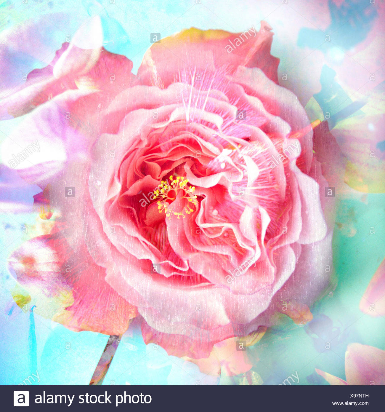 A Floral Montage of a mallow and a rose in powerful pastels, photograph, layer work, Stock Photo