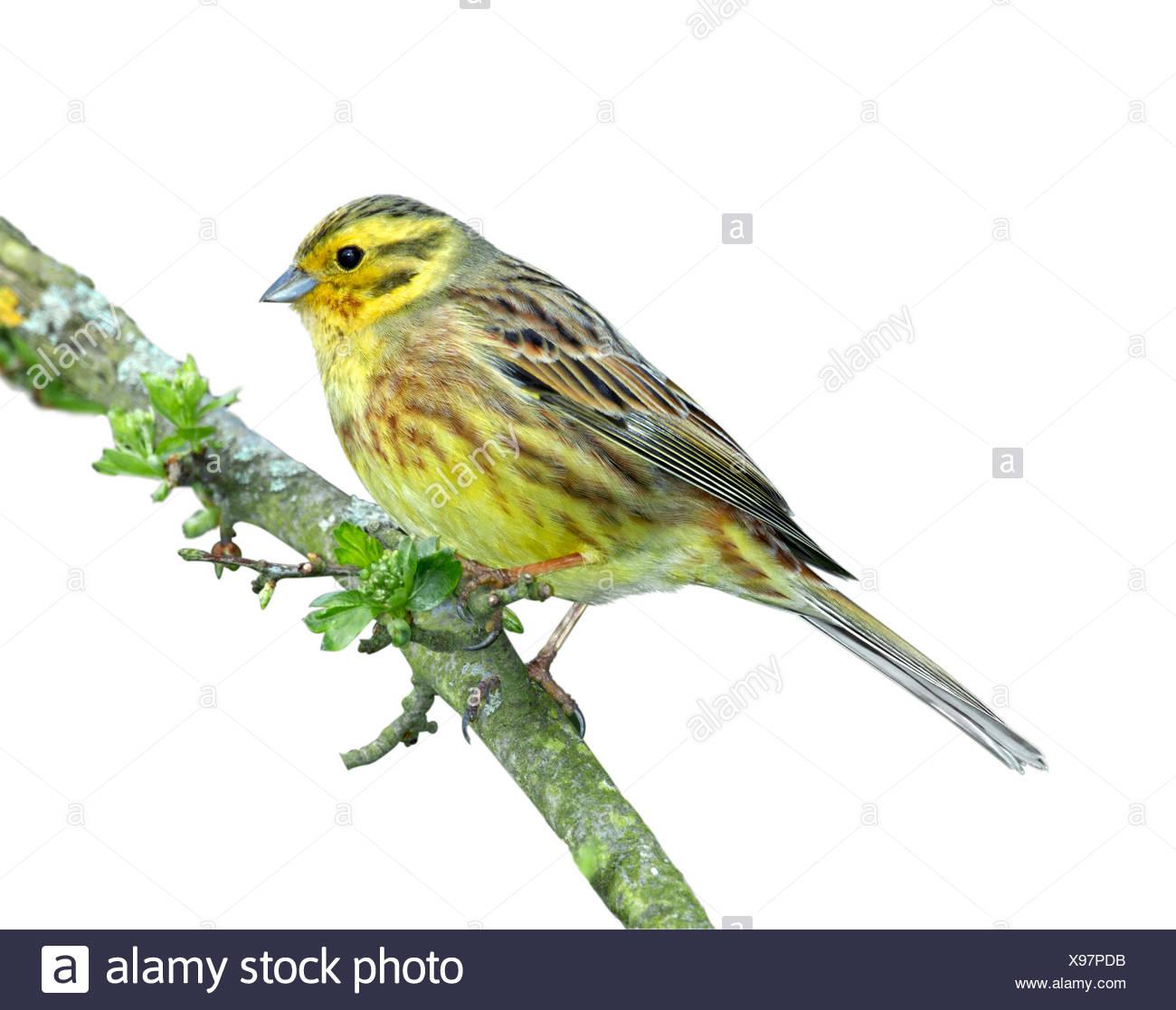 Yellowhammer - Emberiza citrinella - Stock Image