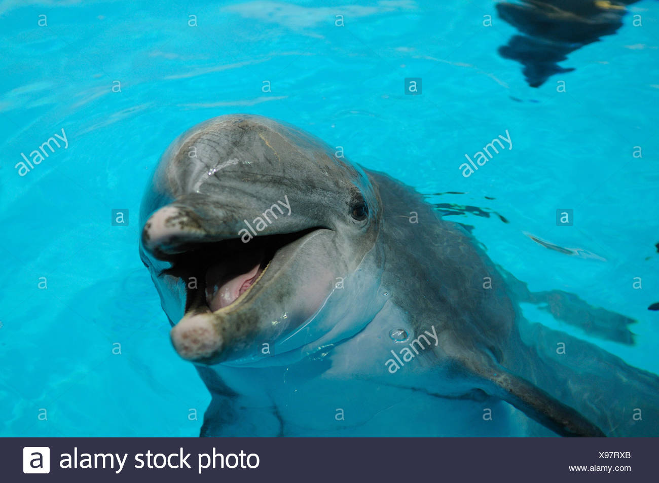 Common bottlenose dolphin, Tursiops truncatus, portrait, water, front view, Looking at camera, focus on the foreground, Stock Photo