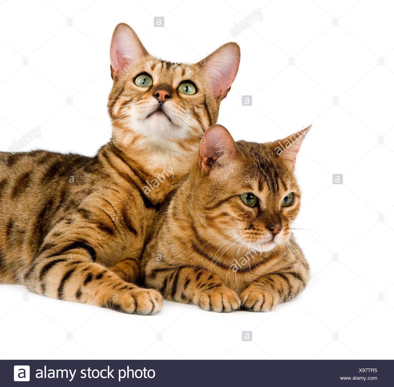Brown Spotted Tabby Bengal Domestic Cat Stock Photo 281070921 Alamy