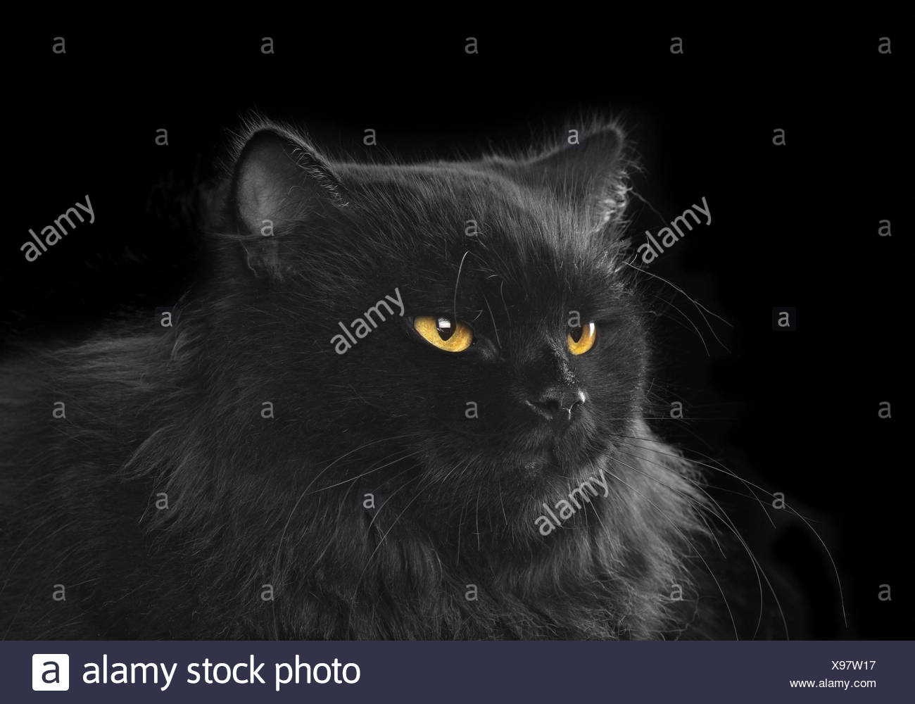 black persian cat on black background Stock Photo