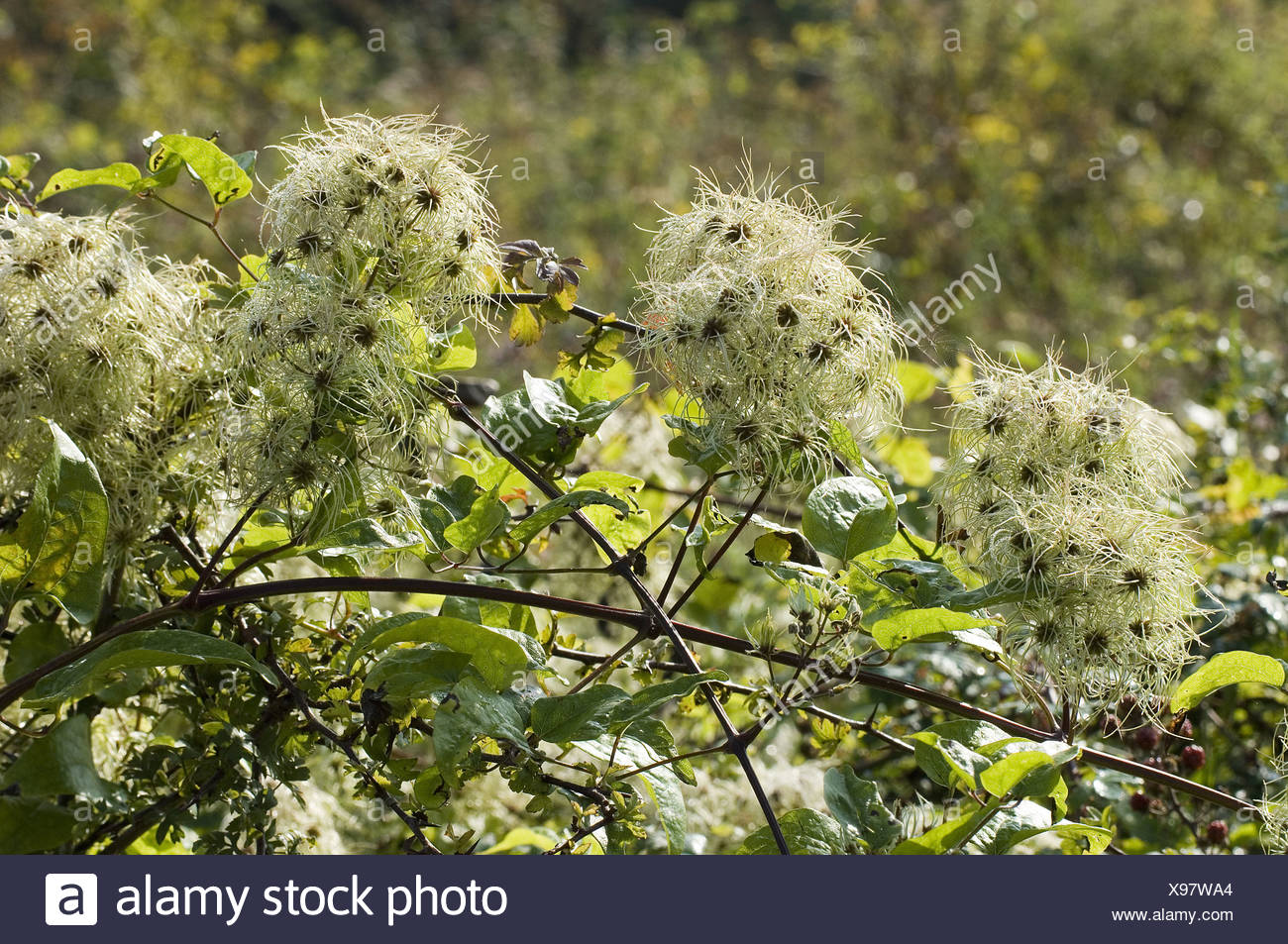 shrub shrubs plant plants europe european 'old man's beard' 'travellers joy' 'traveller's joy' climber climbers ranunculaceae - Stock Image