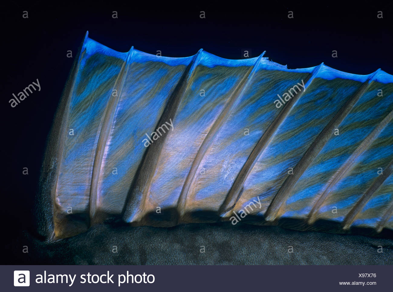 Detail of dorsal fin of Bluespine Unicornfish (Naso Unicornis) Red Sea, Egypt - Stock Image