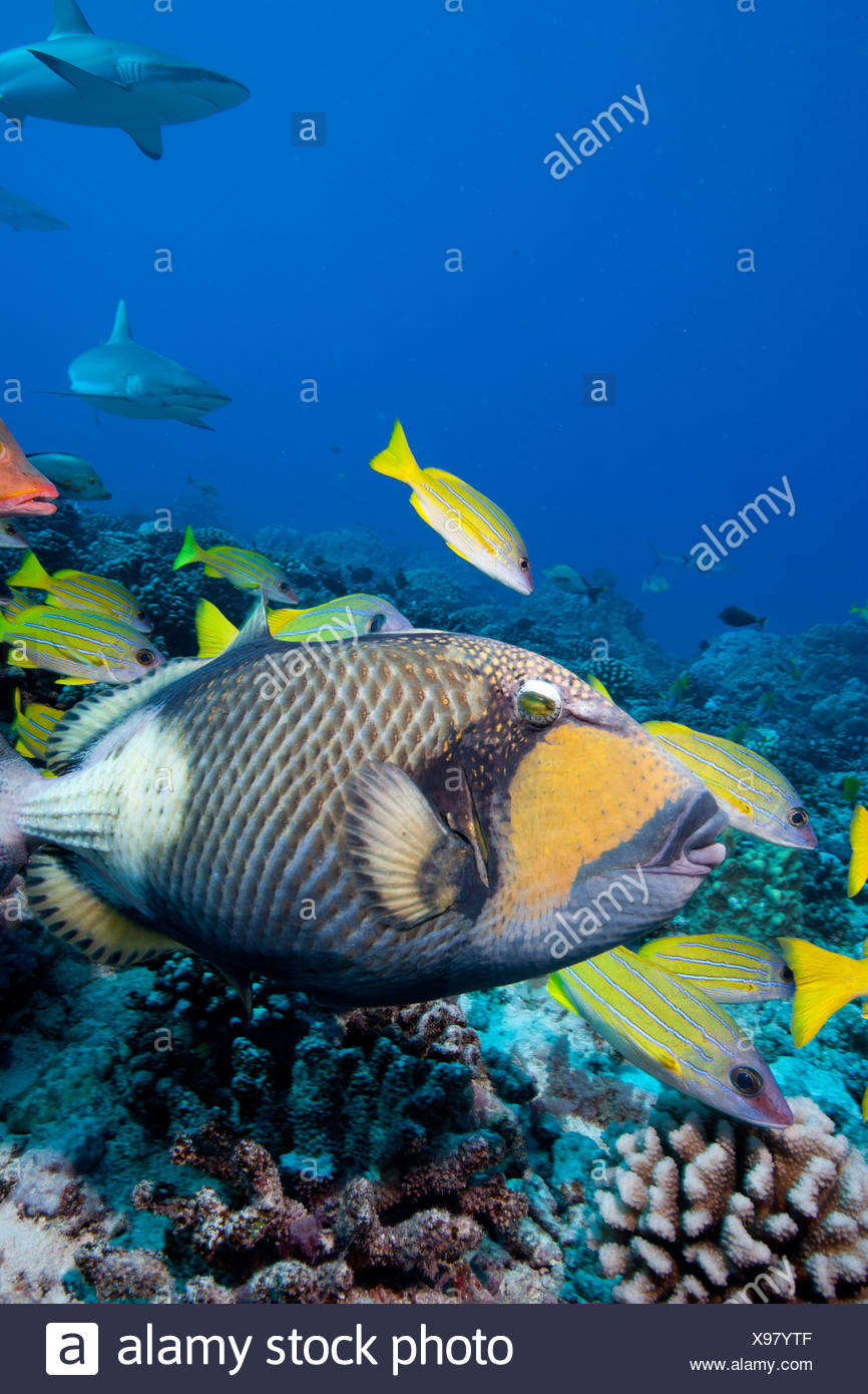 Titan or giant triggerfish (Balistoides viridescens) giving the once-over to an unsuspecting photographer - Stock Image
