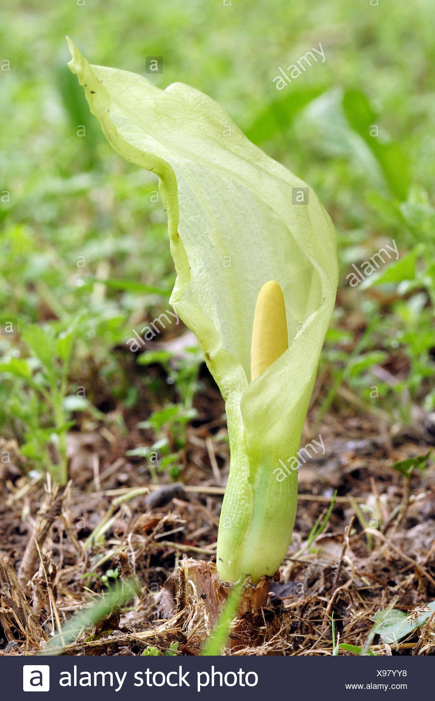 Cuckoo Pint or Italian Lords-and-Ladies (Arum italicum), Provence, Southern France, France, Europe - Stock Image