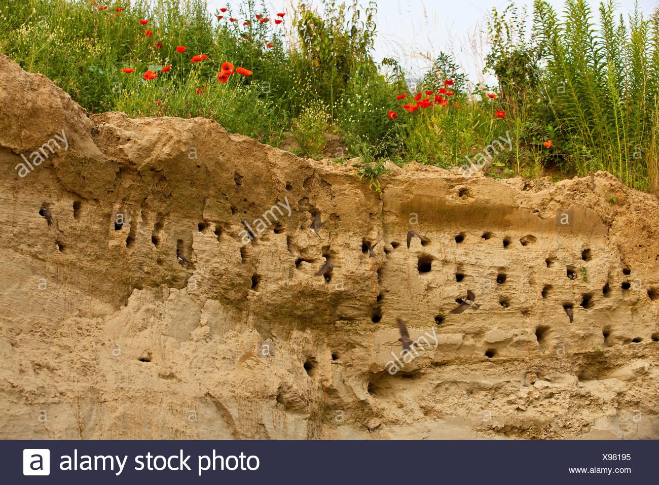 sand martin (Riparia riparia), breeding colony, Germany, Bavaria, Isental - Stock Image