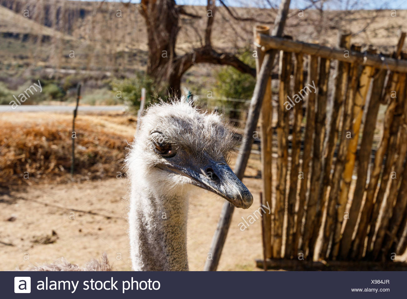 Ostrich Head down and taking a break - Stock Image