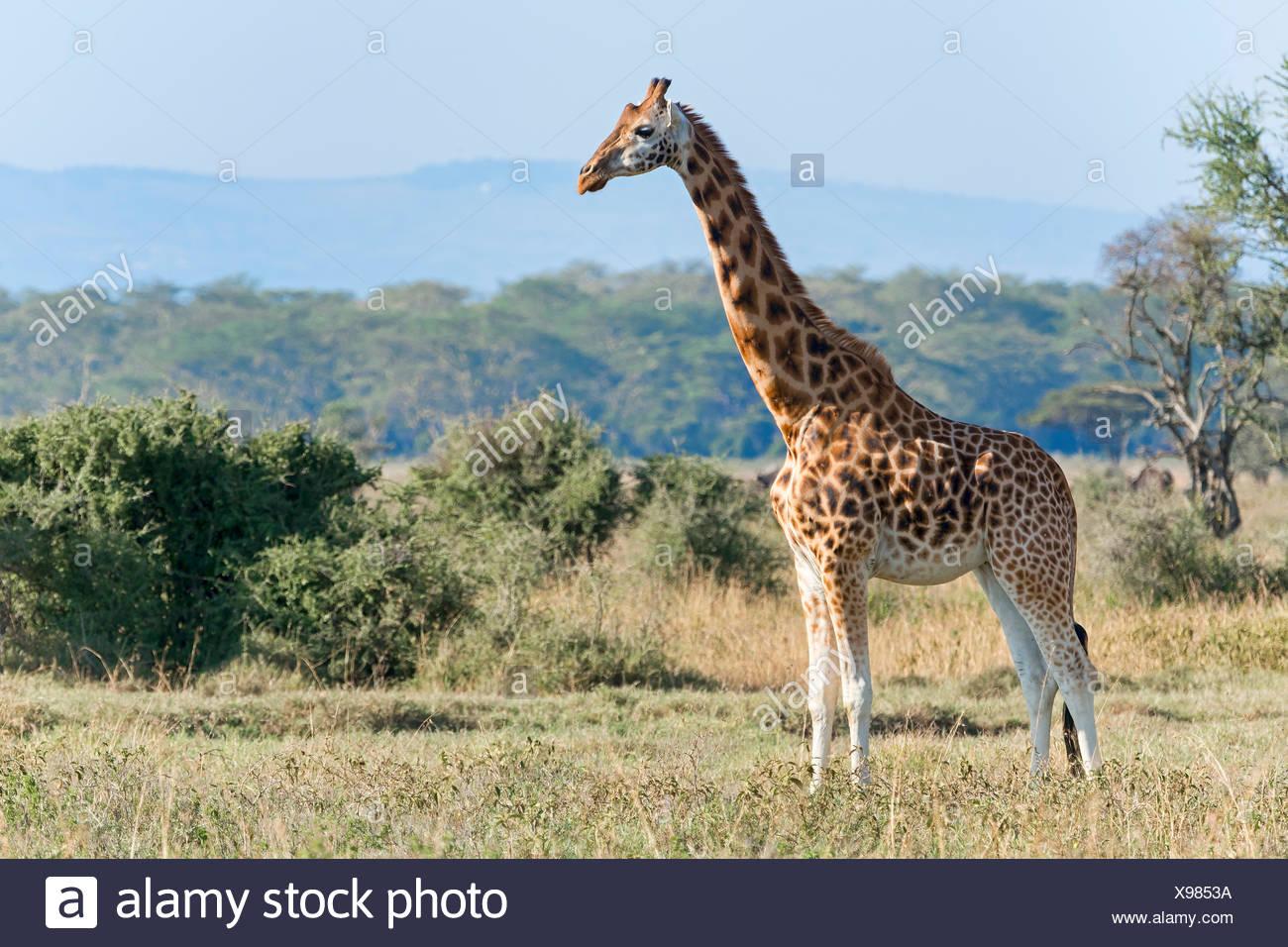 Rothschild's giraffe (Giraffa camelopardalis rothschildi), Lake Nakuru National Park, Kenya - Stock Image