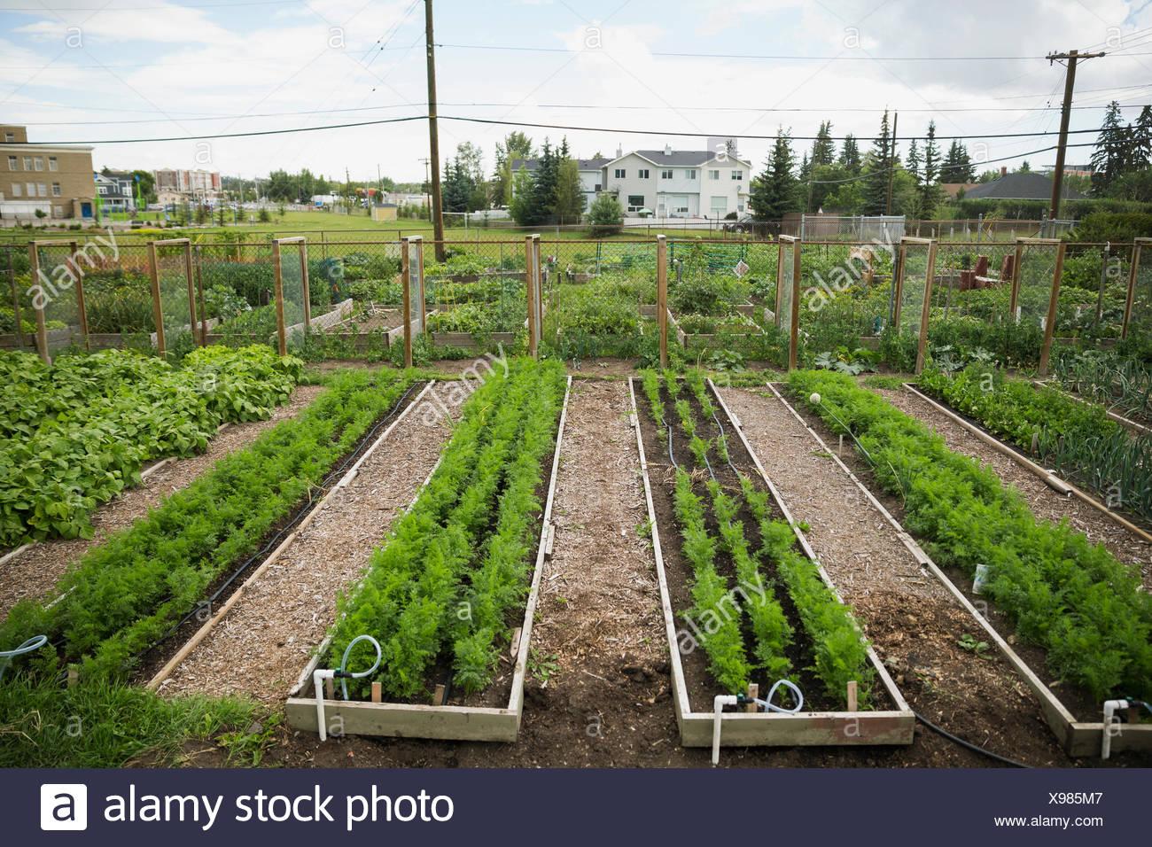 Plants growing in rows in community garden - Stock Image