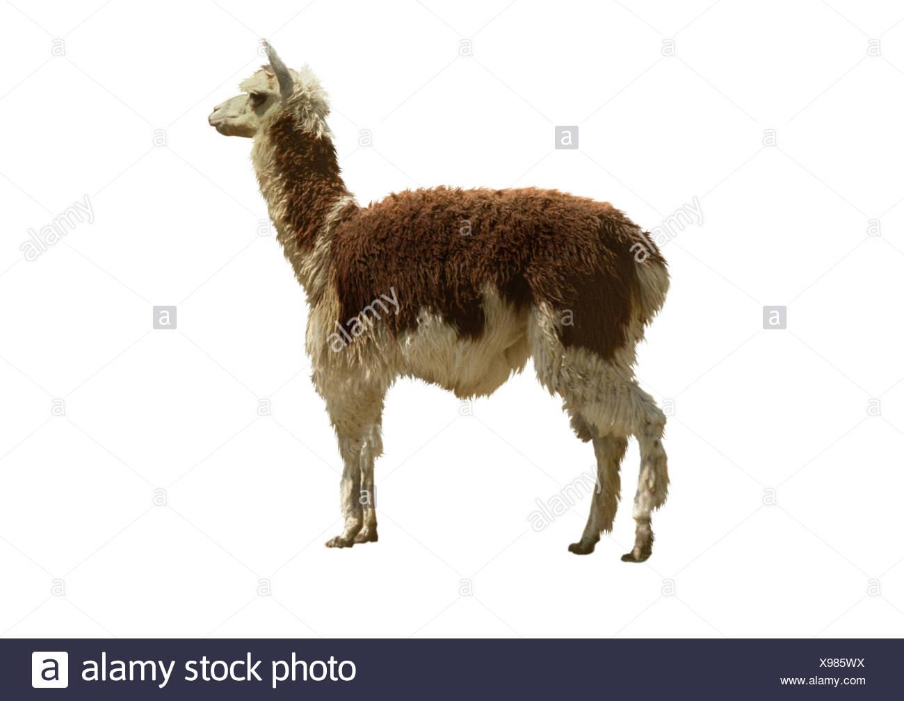 llama (Lama glama), cutted out - Stock Image