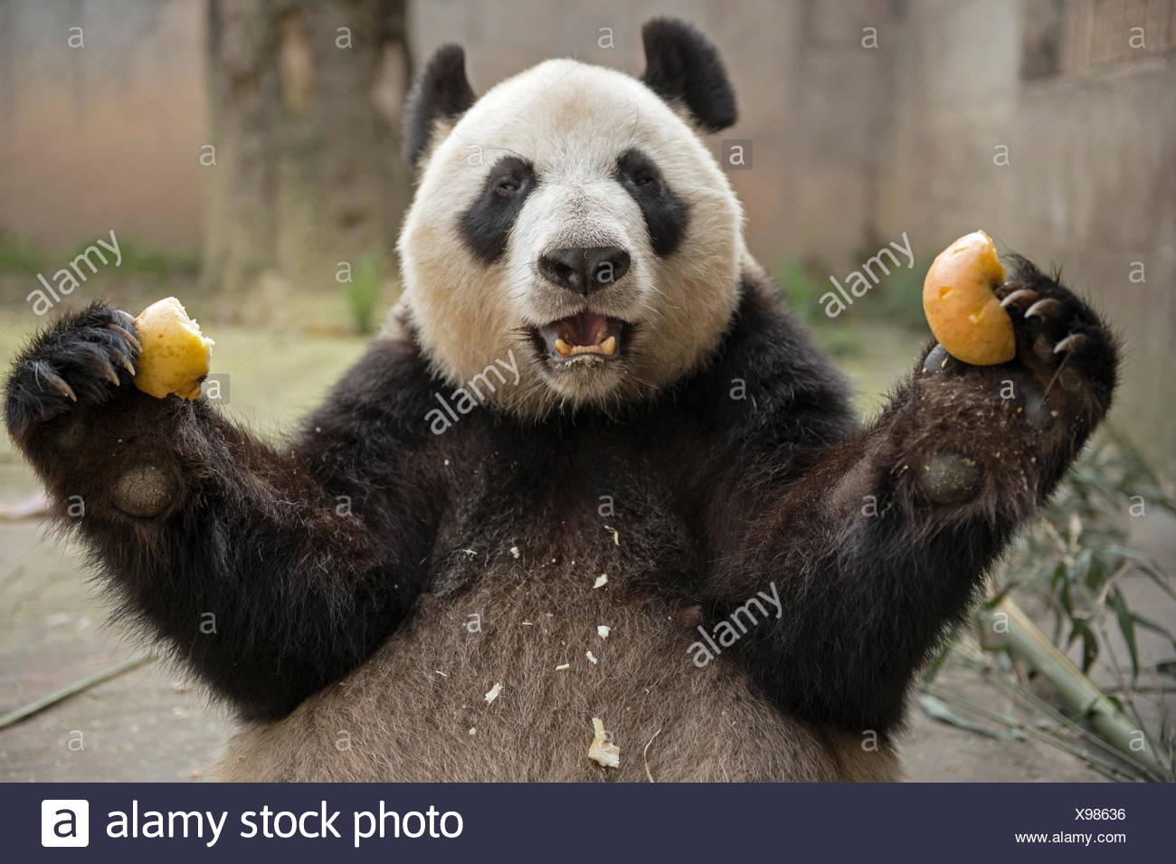 A giant panda eats inside an enclosure at the Bifengxia Giant Panda base. - Stock Image