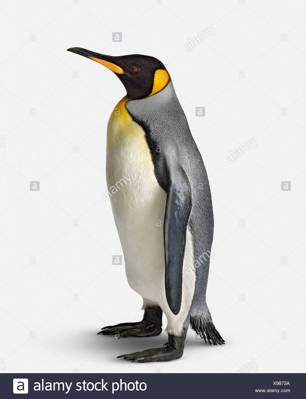 Royal Penguin (Aptenodytes patagonicus) on white background, close-up - Stock Image