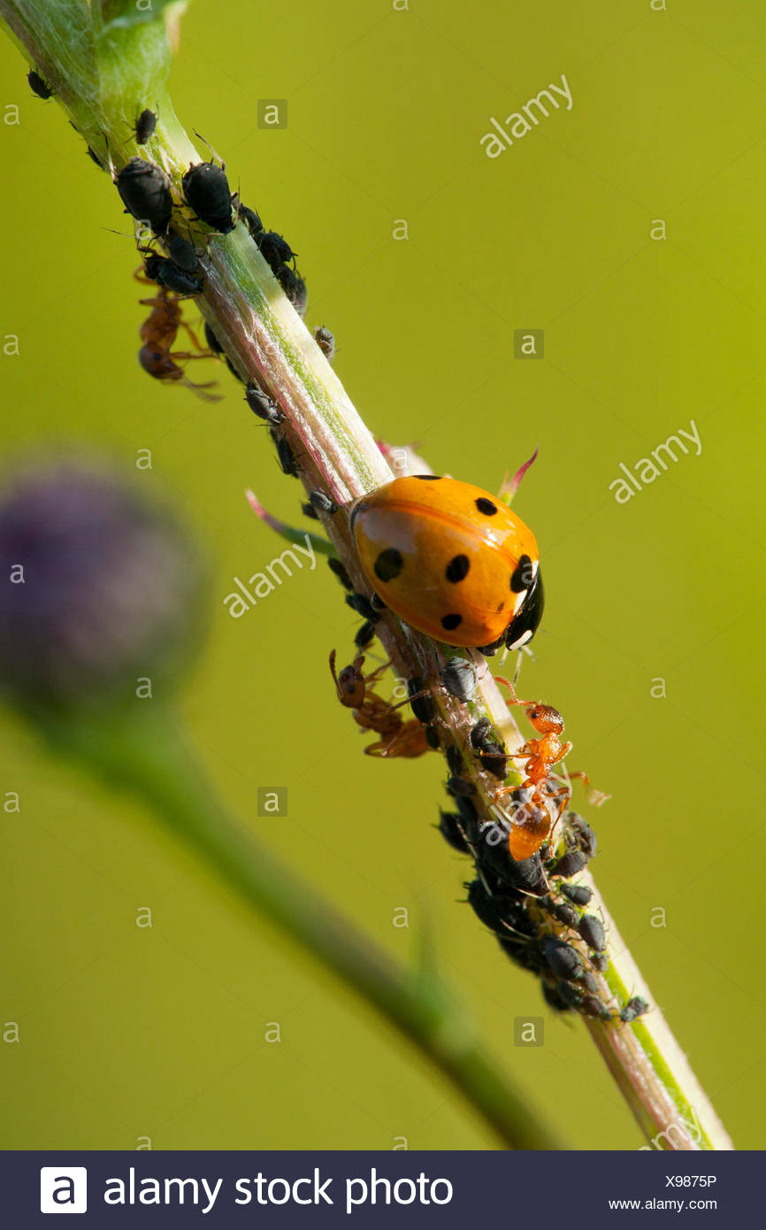 seven-spot ladybird, sevenspot ladybird, 7-spot ladybird (Coccinella septempunctata), seven-spot ladybird and yellow meadow ants with plant louses, Germany, Rhineland-Palatinate Stock Photo
